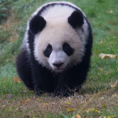 Yuan Meng - ZooParc de Beauval