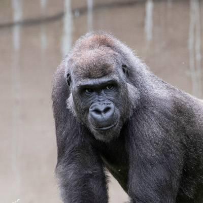 Kuimba - Gorille