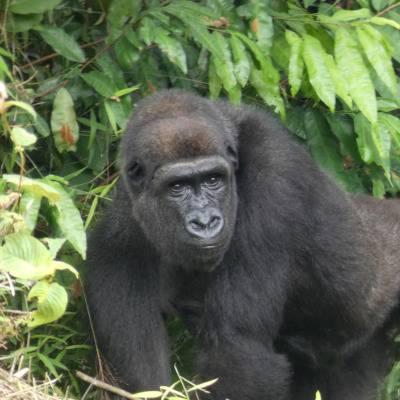 Mayombé - Gorille