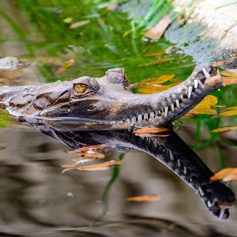 Faux-gavials