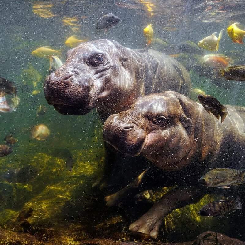 Hippopotames nains