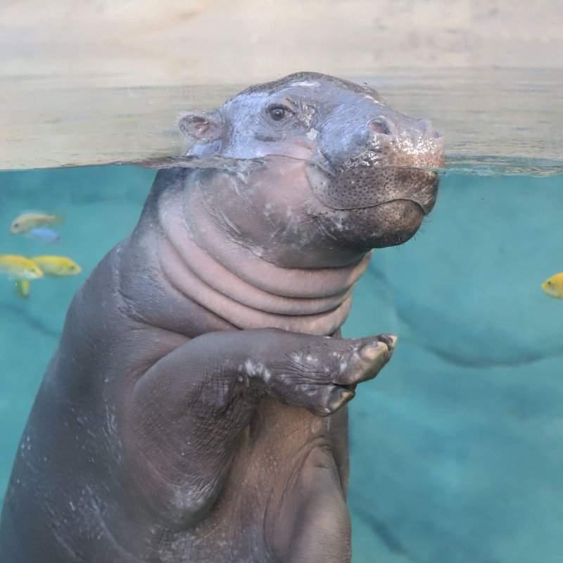 Robert, l'hippopotame pygmée