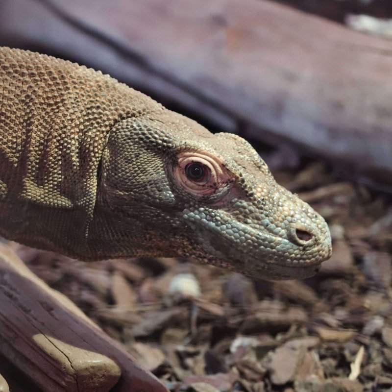 Drac,le varan de Komodo