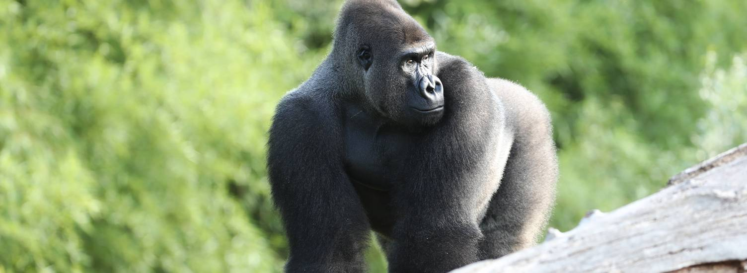 Réintroduction des gorilles des plaines de l'ouest en milieu naturel - ZooParc de Beauval