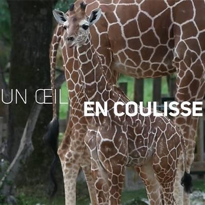 Un oeil en coulisse - ZooParc de Beauval